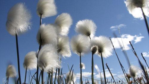 bloem-wollegras4_verkleind